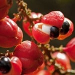 1027_Guarana_Fruit pour site web