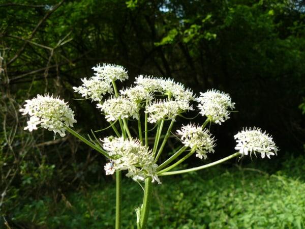 Berce commune reflexologie sante for Plante urticante