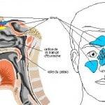 diagramme-de-l-odorat-et-des-sinus-323-660x660
