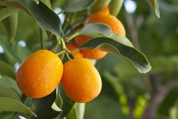 petit-grain-bigarade-fruit