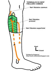 Nerf fibulaire commun