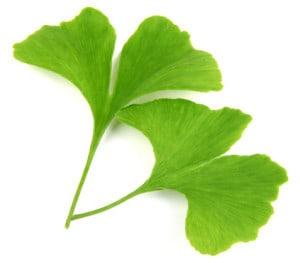 green ginkgo biloba leaves isolated on white background