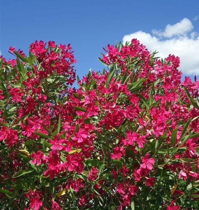 Attention, le laurier rose est une plante dangereuse